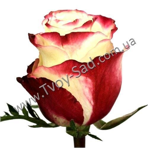 Роза u00abсвитнессu00bb: фото, описание сорта, применение во флористика, декоре сада