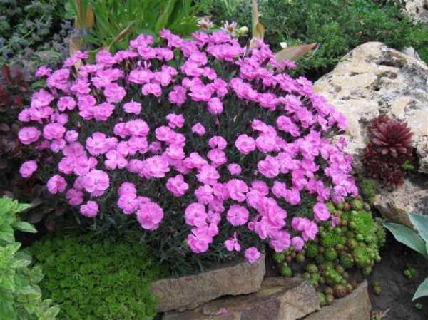 Экспресс-многолетники, которые цветут уже в первый год