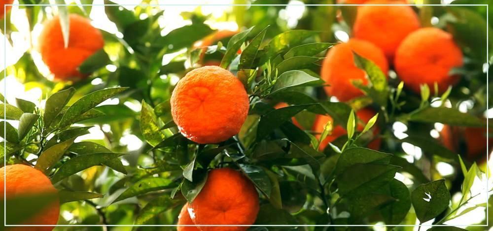 Как вырастить мандарин?
