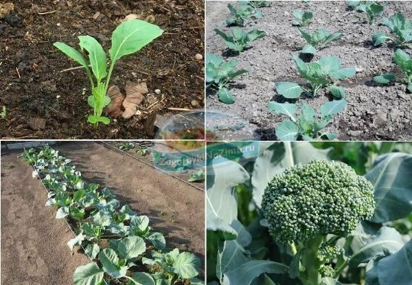 Капуста брокколи: выращивание и уход в открытом грунте
