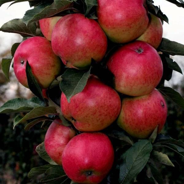 Колоновидная яблоня янтарное ожерелье – яркий вкус в течение всей зимы