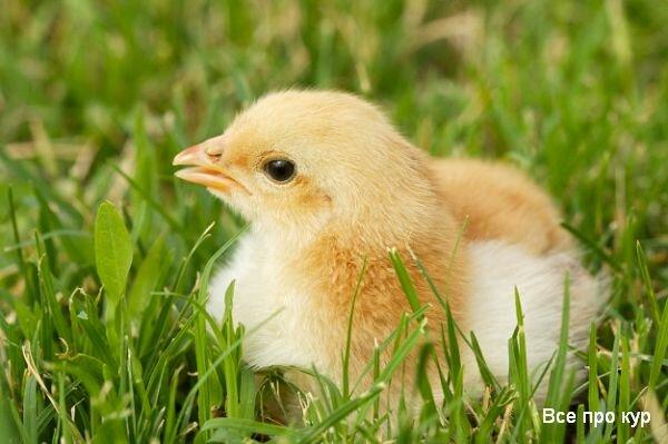 Зелень в рационе цыплят: как правильно давать