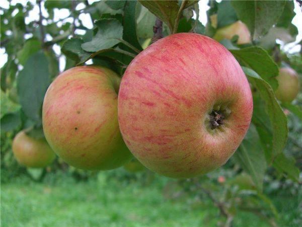 Сладчайшая яблоня медовое: описание сорта