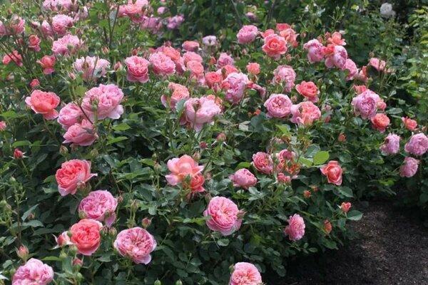 Описание плетистой розы сорта шнеевальцер: нюансы выращивания, как обрезать