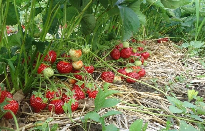 Клубника сальса — позднеспелый, крупноплодный и очень урожайный сорт