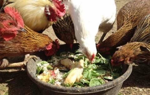 Правильное кормление цыплят бройлеров в различном возрасте: подсчет рациона и рецепты смесей своими руками