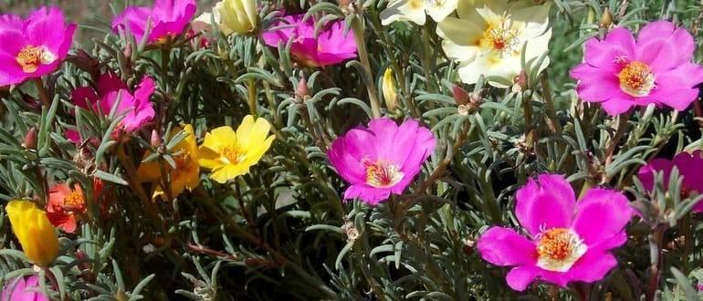 Цветок портулак посадка и уход. портулак — выращивание из семян, когда сажать