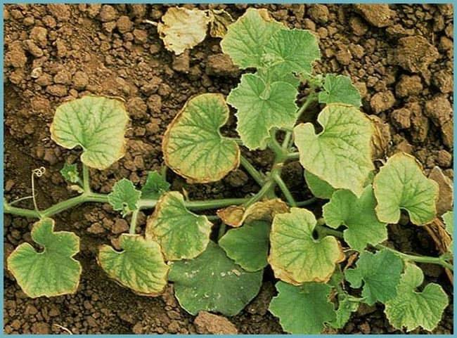 Кальциевая селитра: чем хороша, внесение под растения, как приготовить