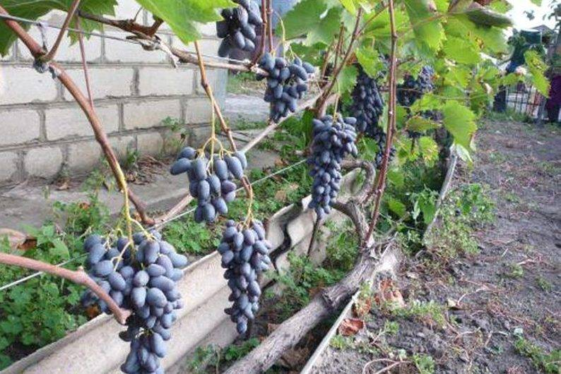 Виноград памяти негруля: описание сорта, фото - общая информация - 2020