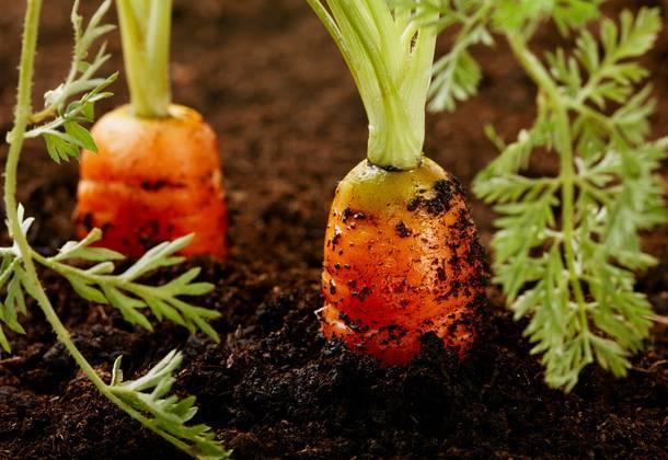 Чем подкормить морковь в июне – использование навоза, птичьего помета, дрожжей, золы, азофоски и других средств