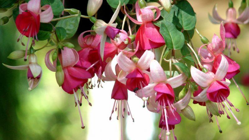 Фуксия – выращивание и уход