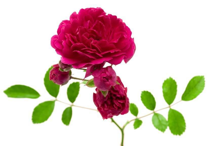 Об уходе за розами после цветения летом: как ухаживать за розой в июле