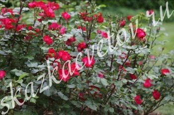 Rosa 'pink robusta'
