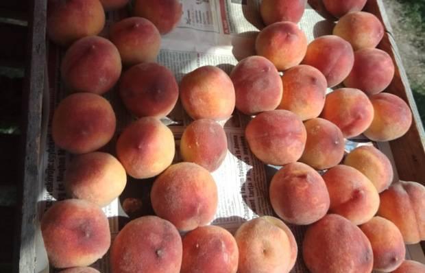 Когда обычно созревают абрикосы и от чего это зависит