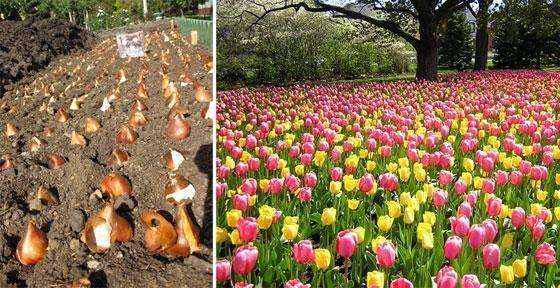 Посадка тюльпанов осенью: 5 главных ошибок