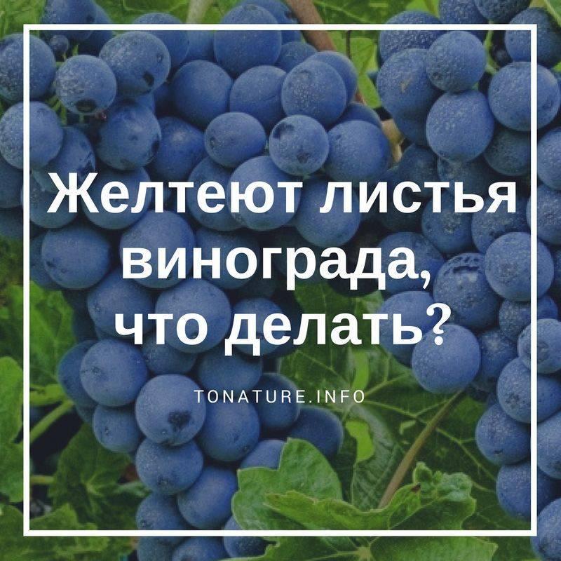 Почему у винограда сохнут листья?