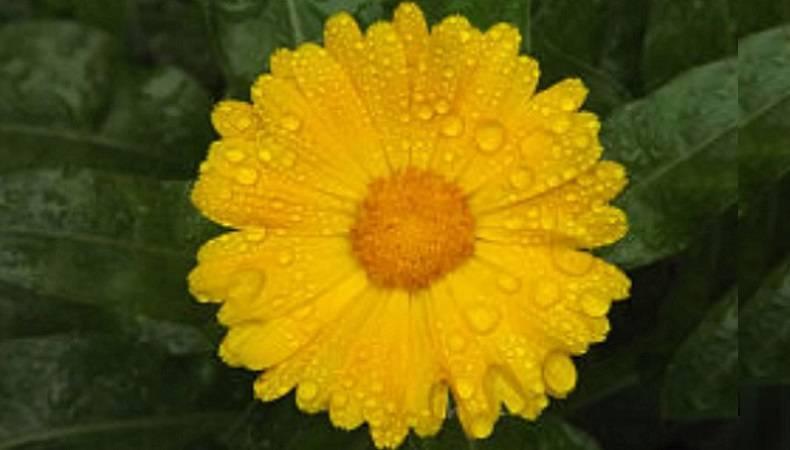 Применение цветков календулы в народной медицине: рецепты средств для лечения различных заболеваний