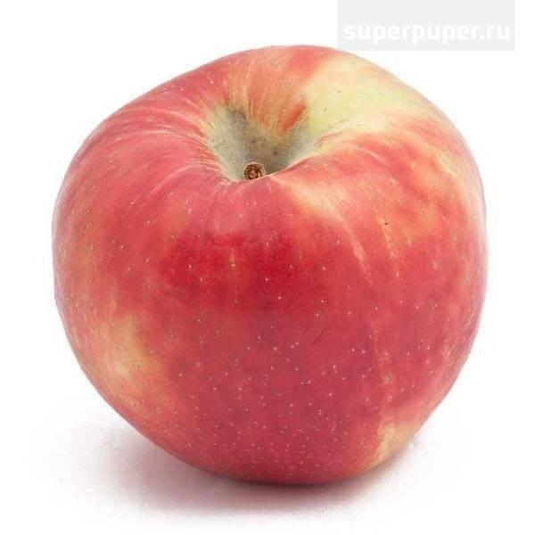 Описание яблони хани крисп, нюансы выращивания