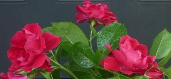 Как избавиться от гусениц на розах – практическое руководство