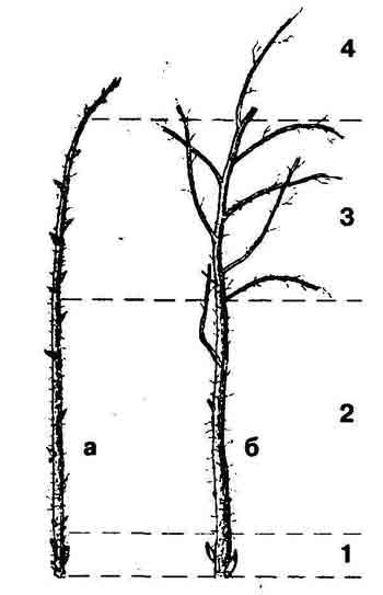 Обрезка малины в разное время года: как провести процедуру правильно