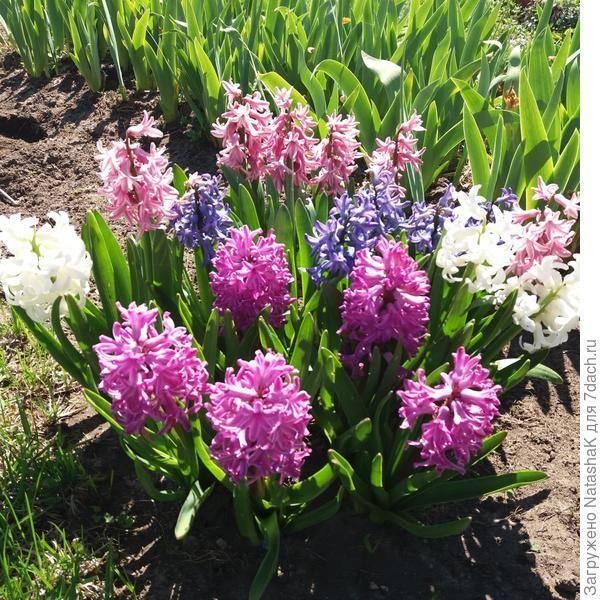 Что дальше делать с гиацинтами после цветения: когда пересаживать и как хранить