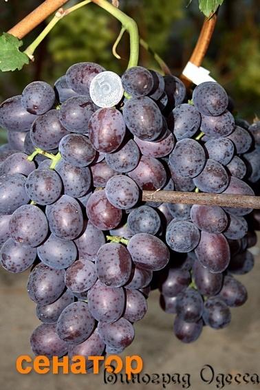 Сенатор с виноградом