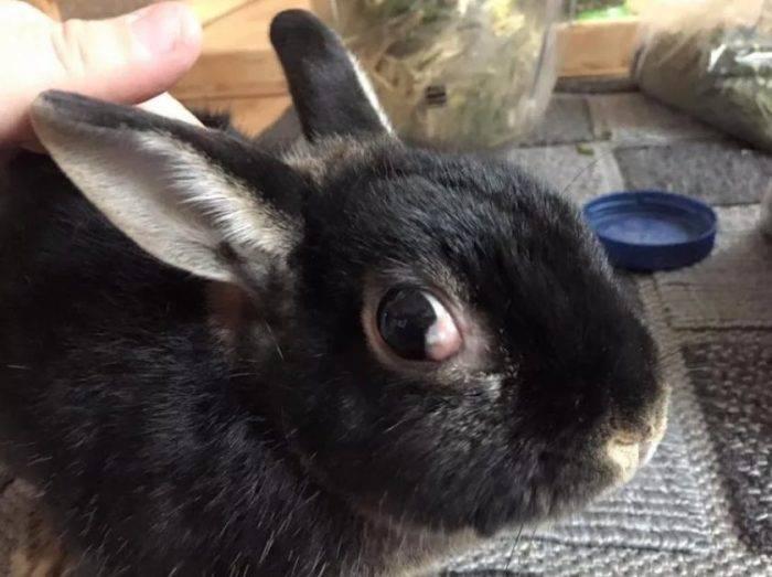 У кролика опух глаз: возможные причины, методы и особенности лечения - общая информация - 2020