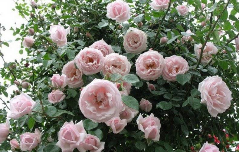 Rosa 'new dawn' — википедия переиздание // wiki 2