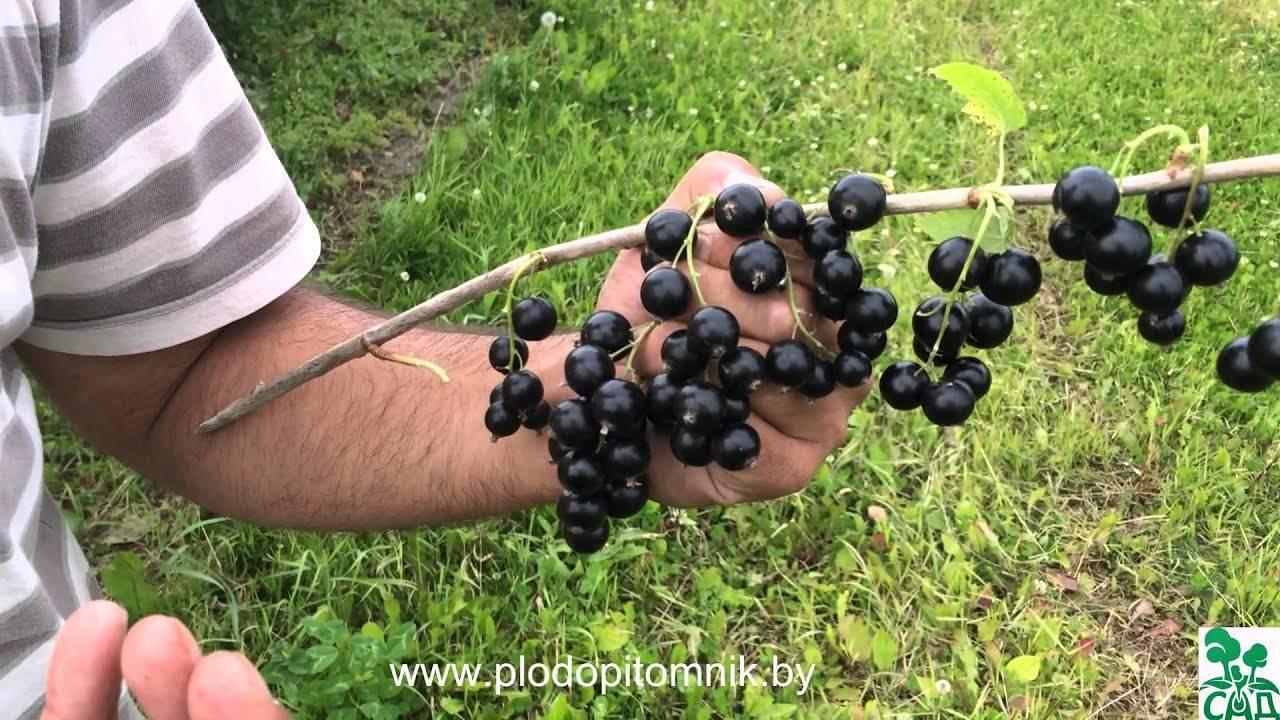 15 самых лучших сортов черной смородины, описание, фото
