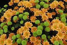 Хризантема цветок: как выглядит, какие бывают, сорта и виды хризантем
