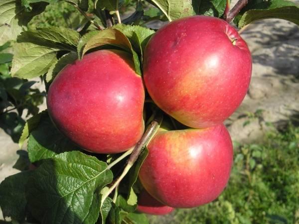 О яблоне Медовая: описание сорта, характеристики, агротехника, выращивание