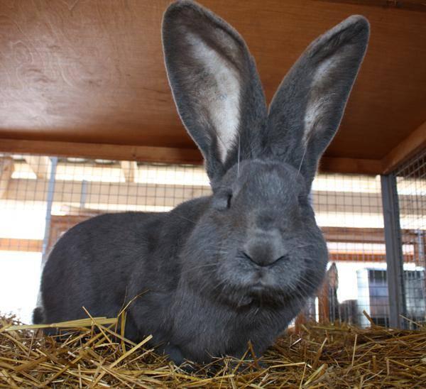 Кролики ризен: разведение и уход | животноводство