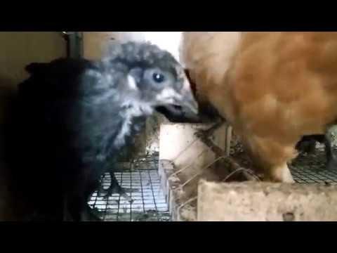 Что делать, если куры испражняются в свои гнезда?