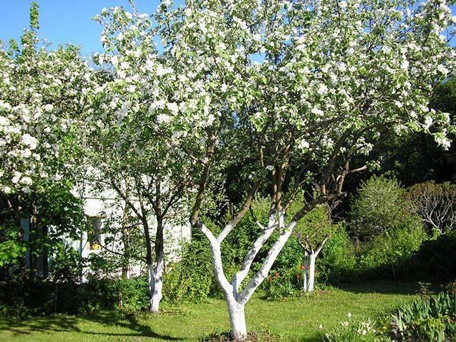 Сажистый грибок на яблоне: лечение и профилактика, как бороться с фото
