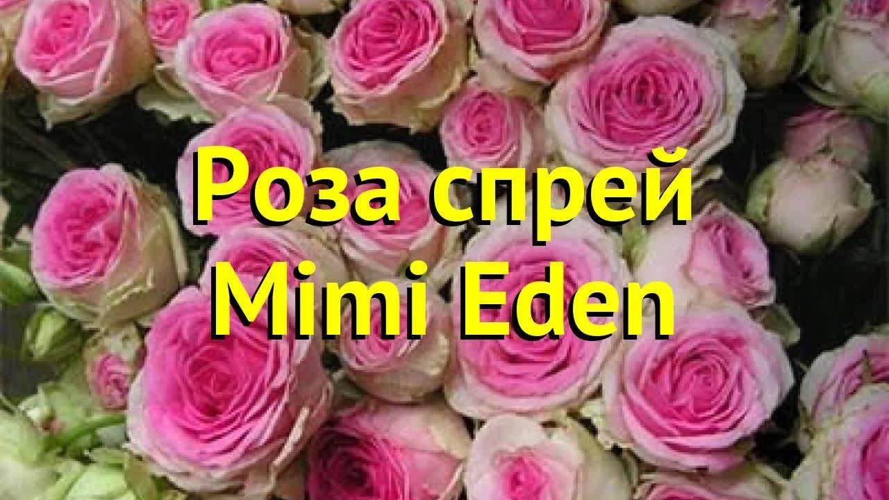 Роза эрик таберли (eric tabarly) — характеристики сорта