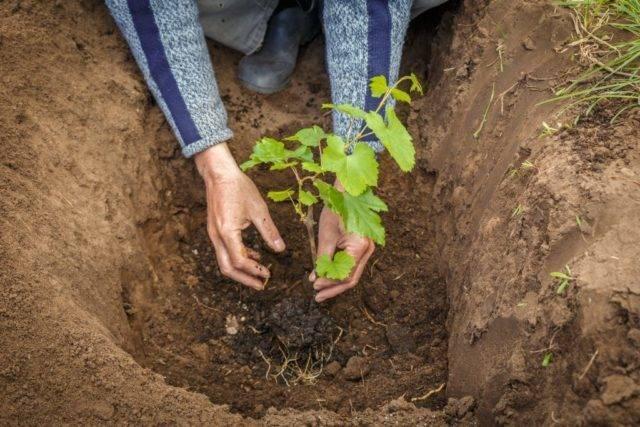 Пересадка винограда на новое место — ягоды грибы