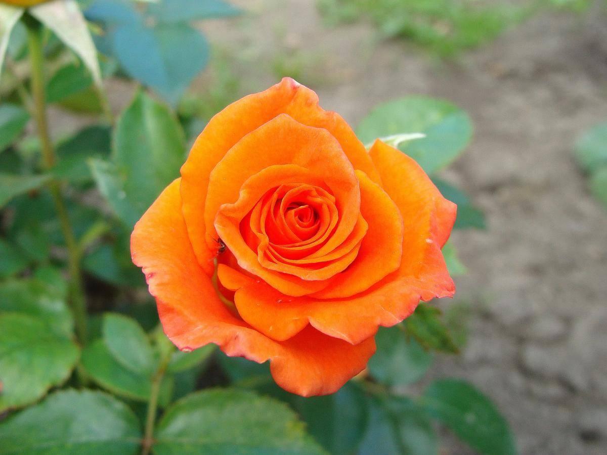 Когда и чем подкормить розы, чтобы получить обильноцветущие и здоровые кусты: 5 основных сезонных подкормок
