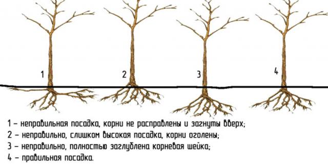 Когда посадить сливу осенью, чтобы она прижилась?