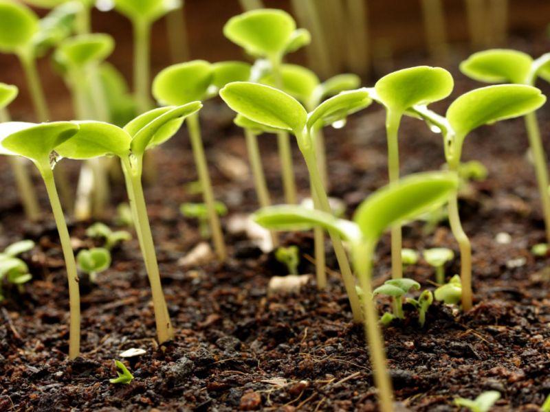 Как подготовить семена капусты к посадке на рассаду