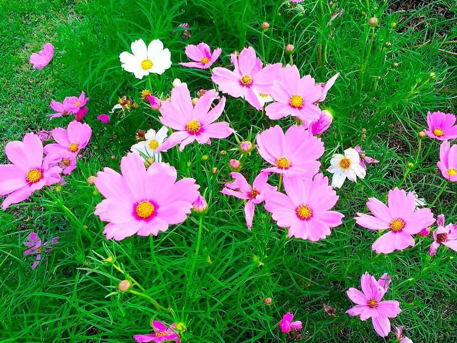Однолетние цветные ромашки— космея