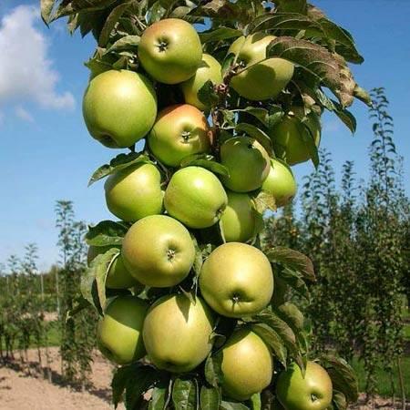 Сорта колоновидных груш: лучшие советы по уходу и посадке