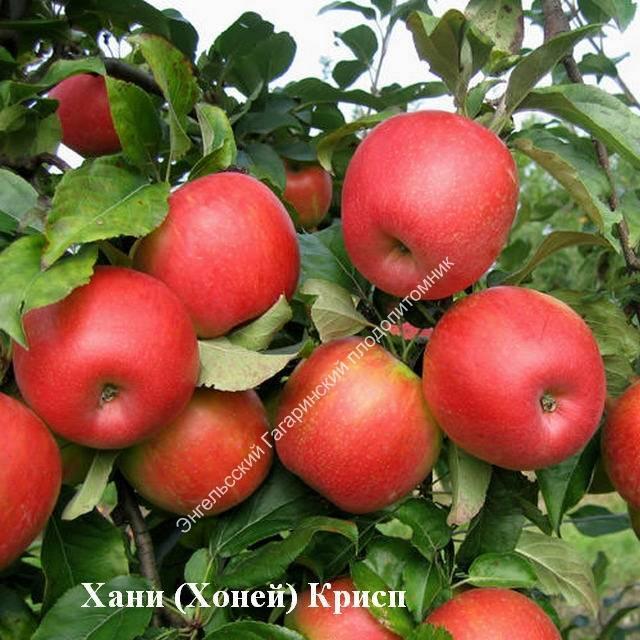 Особенности выращивания и уход за яблоней сорта хани крисп