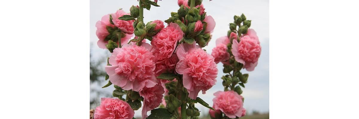 Шток роза - выращивание из семян, когда сажать - общая информация - 2020