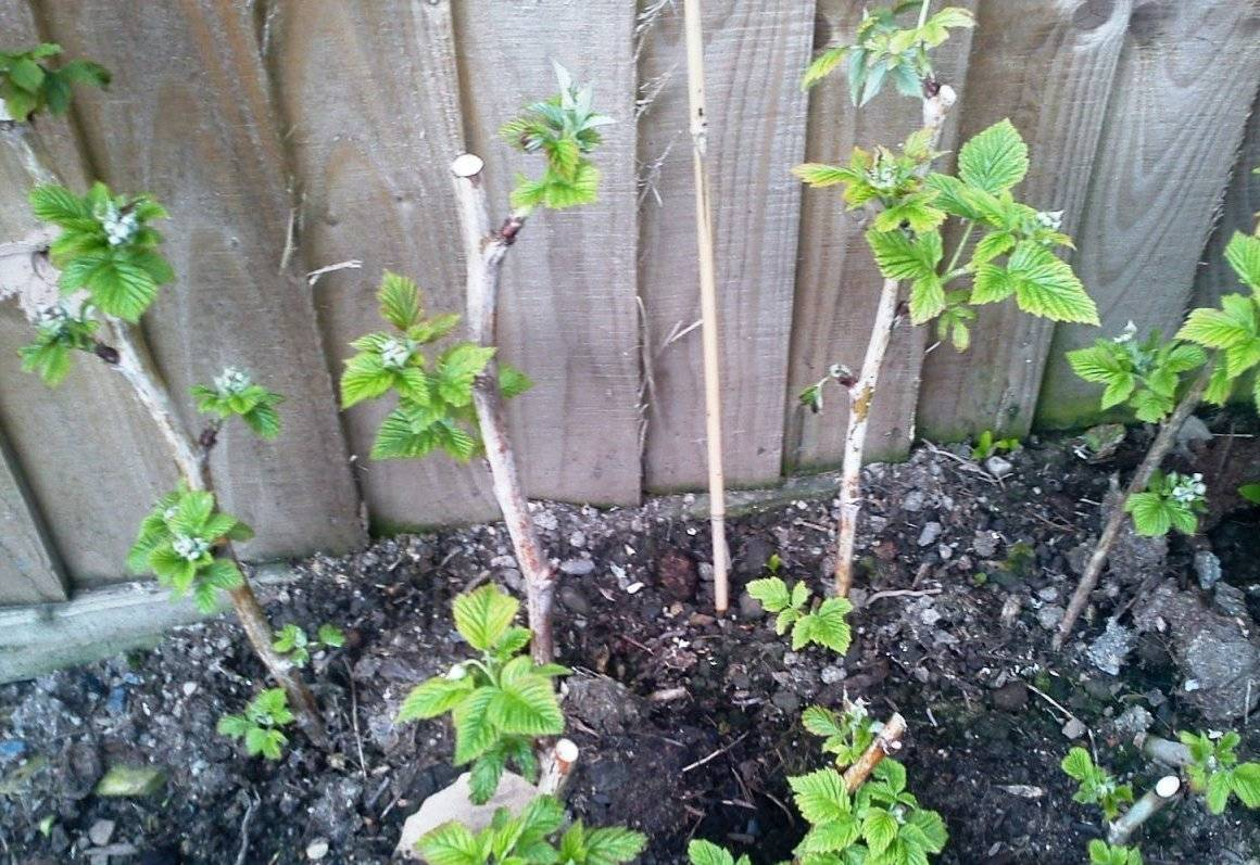 Размножение малины корневыми отпрысками осенью. размножение малины корневыми отпрысками