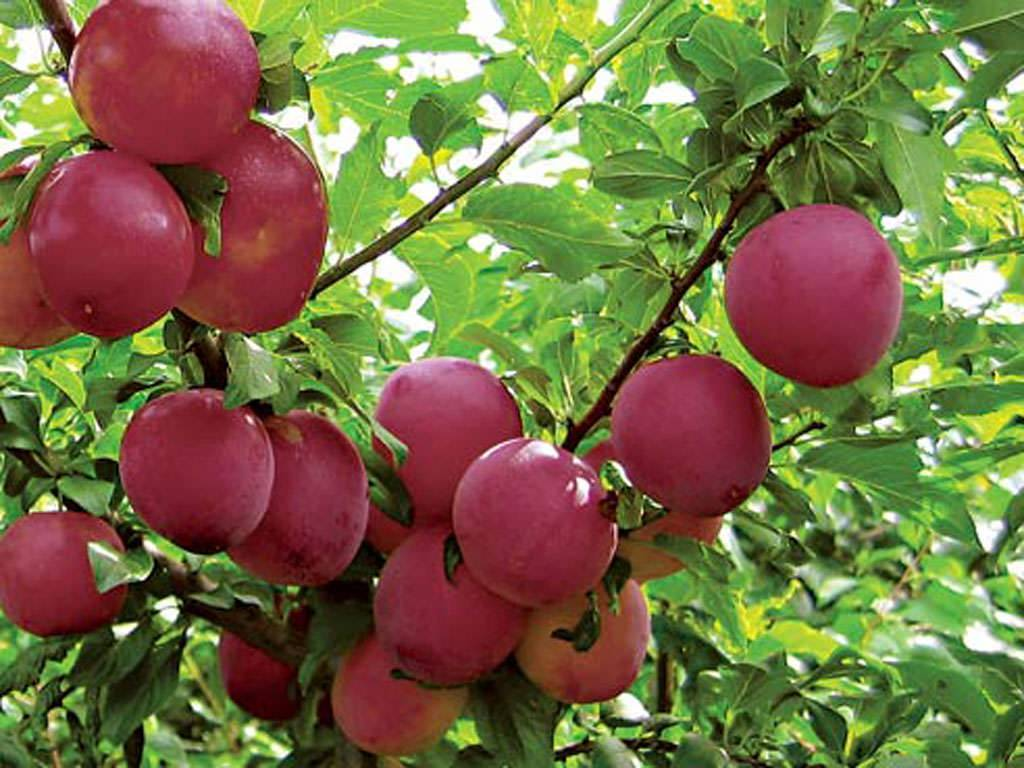 Алыча: описание 23 лучших сортов с отзывами садоводов | (фото & видео)