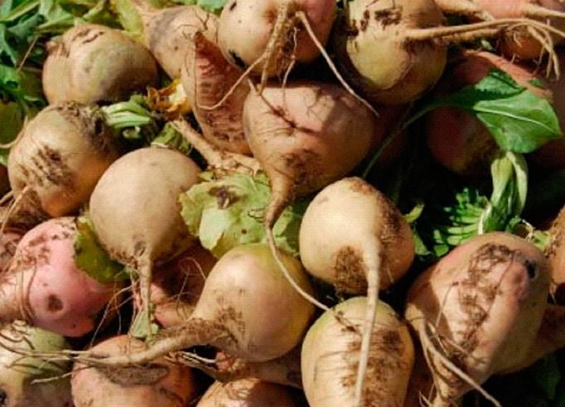 Правила посадки брюквы в открытом грунте — особенности выращивания из семян и уход