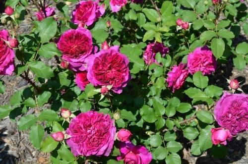 О розе Фальстаф (Falstaff): описание и характеристики, выращивание розы Остина