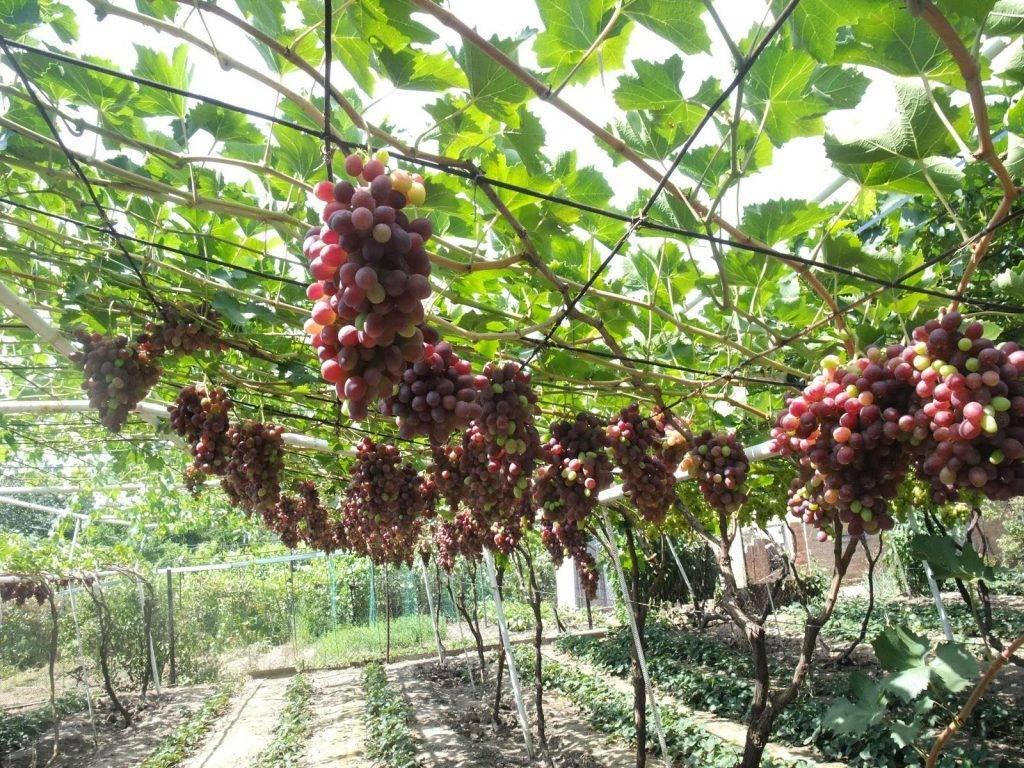 Обломка побегов — виноград