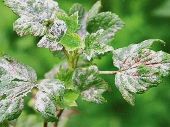 Белый налет (мучнистая роса) на ветках смородины: обработка, профилактика