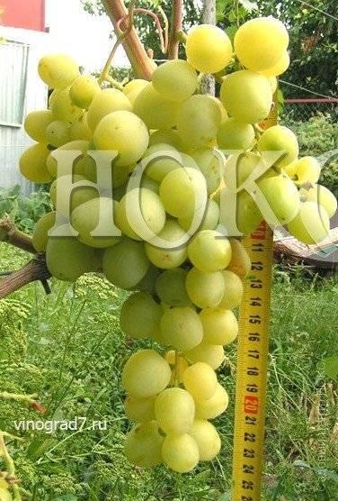 Уникальность винограда супер экстра — сортовые особенности и секреты ухода